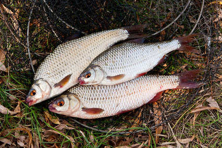 abramis: Freshwater roach fish just taken from the water. Several of roach fish on the withered grass. Catching fish - common bream (Abramis brama), common roach (Rutilus rutilus).