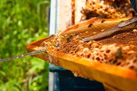 ensure: Beekeeper checking a beehive to ensure health of the bee colony or collecting honey. Stock Photo