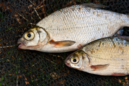 close up eyes: Close up view of the freshwater roach fish just taken from the water. Catching fish - common bream (Abramis brama).