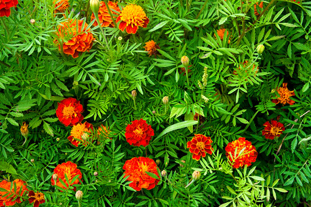 patula: A background of a single type flowering deautiful and colorful flowers of French Marigold.Botanical name is Tagetes patula. Stock Photo