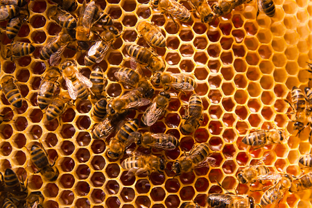 Close up view of the working bees on the honeycomb with sweet honey. Honey is beekeeping healthy produce. Bee honey collected in the yellow beautiful honeycomb.