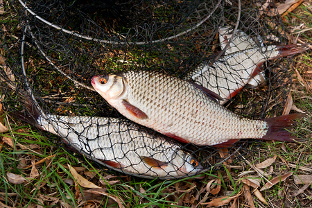 rutilus: Freshwater roach fish just taken from the water. Several of roach fish on fishing net. Catching fish on the withered grass - common bream (Abramis brama), common roach (Rutilus rutilus).