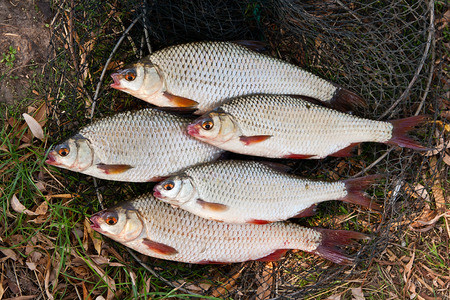 rutilus: Roach fish and bream freshwater fish just taken from the water. Several roach fish on fishing net.  Catching fish on the withered grass - common roach (Rutilus rutilus).