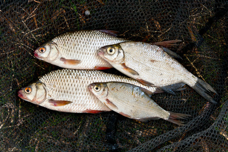 abramis: Freshwater roach and bream fish just taken from the water. Several of roach fish on the withered grass. Catching fish on fishing net - common bream (Abramis brama), common roach (Rutilus rutilus).