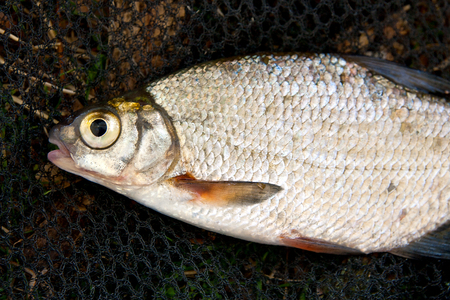 rutilus: Close up view of the freshwater bream fish just taken from the water. Catching fish on the withered grass - common bream (Abramis brama), common roach (Rutilus rutilus). Stock Photo