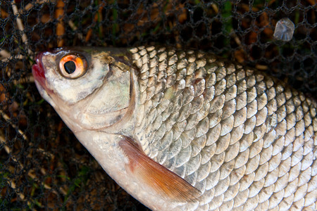 rutilus: Close up view of the freshwater roach fish just taken from the water. Catching fish - roach fish  (Rutilus rutilus) on the fishing net. Stock Photo