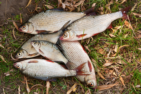 rutilus: Pile of freshwater roach fish and bream freshwater fish as background. Several of roach fish and bream freshwater fish on the withered grass. Catching fish - common bream (Abramis brama), common roach (Rutilus rutilus). Stock Photo
