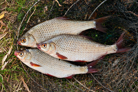 rutilus: Freshwater roach fish just taken from the water. Several of roach fish on fishing net. Catching fish - common bream (Abramis brama), common roach (Rutilus rutilus). Stock Photo