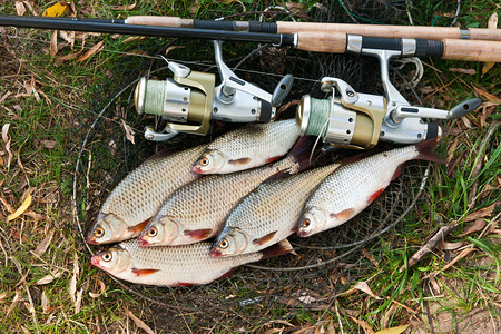 fishing equipment: Roach freshwater fish just taken from the water. Several roach fish on fishing net. Catching freshwater fish and fishing rods with fishing reel. Angler equipment - fishing rods, fishing feeder and landing net. Stock Photo