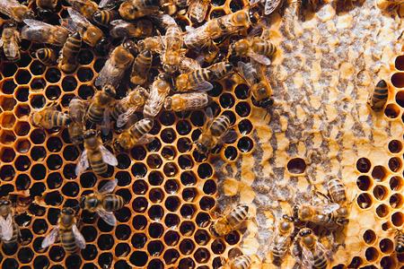 miel de abeja: Cierre de vista de las abejas que trabajan en el panal con miel dulce. La miel es la apicultura productos sanos. La miel de abeja recoge en el hermoso nido de abeja amarilla.