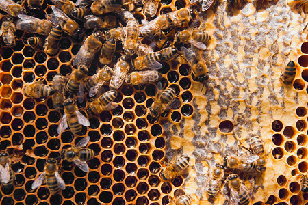 golden honey: Close up view of the working bees on the honeycomb with sweet honey. Honey is beekeeping healthy produce. Bee honey collected in the yellow beautiful honeycomb.