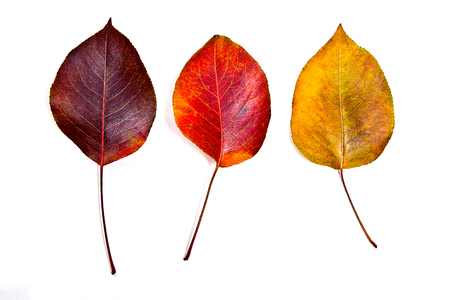 fall of the leaves: Autumn leaves of pear tree isolated on white background. With clipping path. Autumn leaves of pear tree colored by yellow, red and brown color.