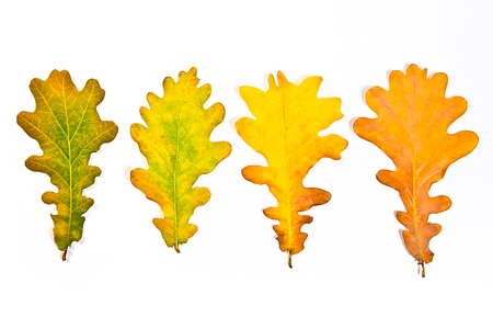 Autumn leaves of oak tree isolated on white background. With clipping path. Autumn leaves of oak tree colored by yellow, red, green brown color.