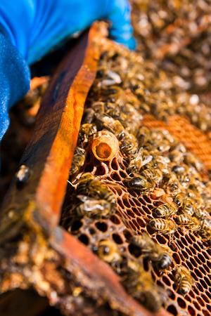 abeja reina: Cierre de vista de la cresta con los jóvenes de la abeja reina. Abejas ocupadas, opinión del primer de las abejas que trabajan en el panal. Las abejas se cierran para arriba mostrando algunos animales y estructura de panal.