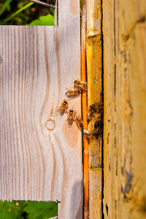 cluster house: Plenty of bees at the entrance of beehive in apiary. Busy bees, close up view of the working bees
