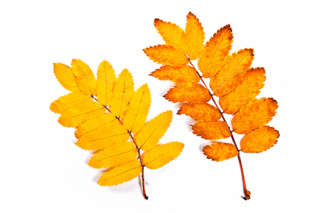 rowan tree: Autumn rowan tree leaves isolated on white background. With clipping path. Autumn rowan tree leaves colored by yellow. Stock Photo