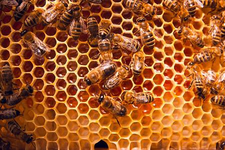 peine: Cierre de vista de las abejas que trabajan en el panal con miel dulce. La miel es la apicultura productos sanos. La miel de abeja recoge en el hermoso nido de abeja amarilla.