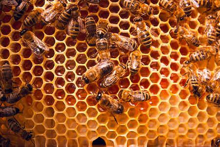 combs: Close up view of the working bees on the honeycomb with sweet honey. Honey is beekeeping healthy produce. Bee honey collected in the yellow beautiful honeycomb.
