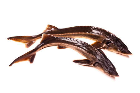 commercially: Two Fresh small sturgeon fish isolated on white background. Fresh sterlet fish just taken from the water. Sterlet is a small sturgeon, farmed and commercially fished for its flesh and caviar.