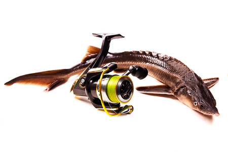commercially: Fresh small sturgeon fish isolated on white background. Fresh sterlet fish just taken from the water. Modern fishing reel on white background. Sterlet is a small sturgeon, farmed and commercially fished for its flesh and caviar. Stock Photo