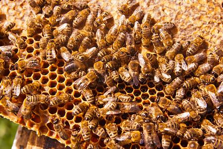 abejas panal: Cierre de vista de las abejas que trabajan en el panal con miel dulce. La miel es la apicultura productos sanos. La miel de abeja recoge en el hermoso nido de abeja amarilla.