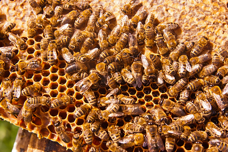 honeycomb: Close up view of the working bees on the honeycomb with sweet honey. Honey is beekeeping healthy produce. Bee honey collected in the yellow beautiful honeycomb.