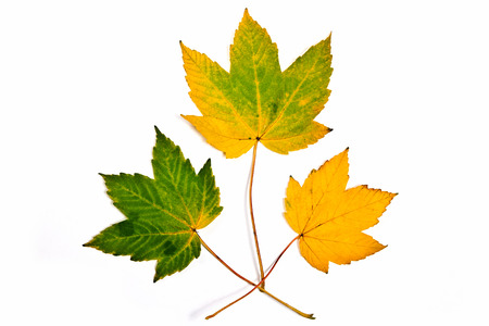 assort: Autumn maple leaves isolated on white background. With clipping path. Assort of different autumn maple leaves colored by yellow and green color.