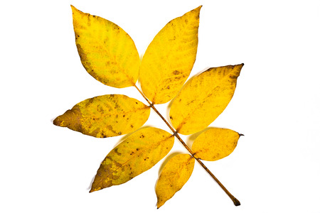walnut tree: Close up view of autumn walnut tree leaf on white. With clipping path. Autumn walnut tree leaf colored by yellow, red and green color. Detail texture of the autumn walnut tree leaf. Stock Photo