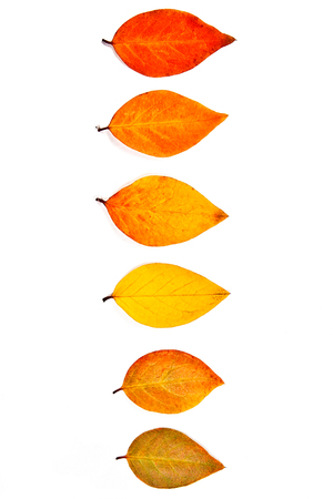 Autumn leaves of the tree isolated on white background. With clipping path. Autumn leaves of the tree colored by yellow, red and green color.