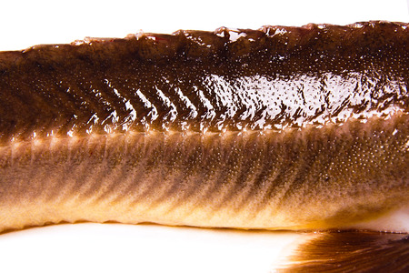 commercially: Close up view of the fresh small sturgeon fish isolated on white background. Fresh sterlet fish just taken from the water. Sterlet is a small sturgeon, farmed and commercially fished for its flesh and caviar. Stock Photo