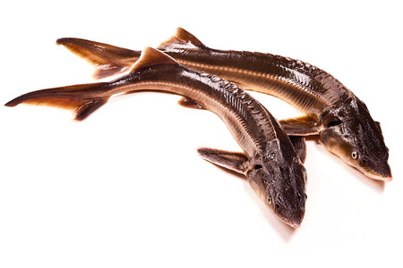 commercially: Fresh small sturgeon fish isolated on white background. Fresh sterlet fish just taken from the water. Sterlet is a small sturgeon, farmed and commercially fished for its flesh and caviar.