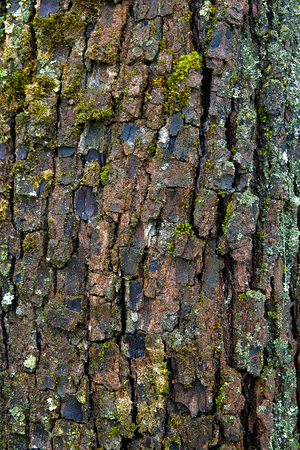 bark background: Close up view of brown tree bark with moss and fungus for background texture.