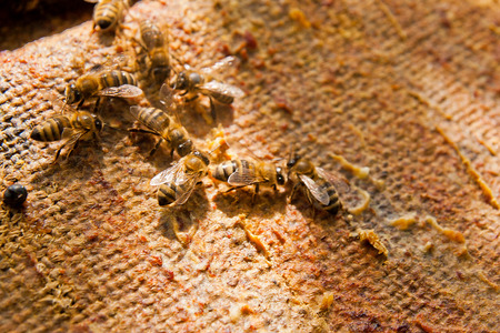 working animals: Busy bees, close up view of the working bees. Close up showing some animals on vintage background.