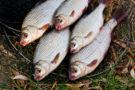 freshwater fish: Pile of freshwater roach fish as background.