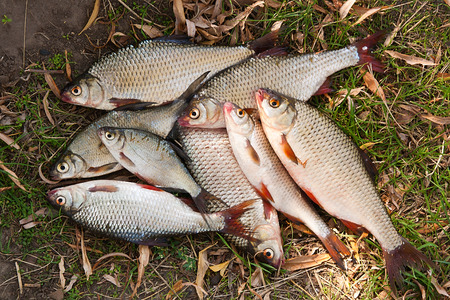 freshwater fish: Pile of freshwater roach fish and common bream as background.