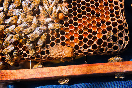 honeycomb: Close up view of the comb with young bee queen. Busy bees, close up view of the working bees on honeycomb. Bees close up showing some animals and honeycomb structure. Stock Photo
