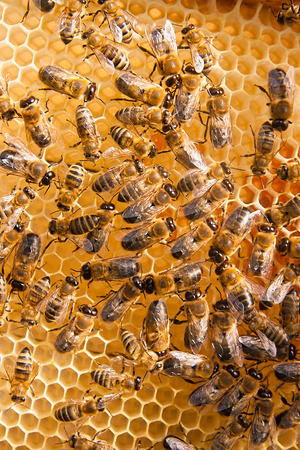 cluster house: Close up view of the working bees on the honeycomb with sweet honey. Stock Photo