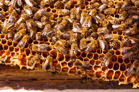 abejas panal: Las abejas ocupadas, vista de cerca de las abejas que trabajan en nido de abeja. Foto de archivo