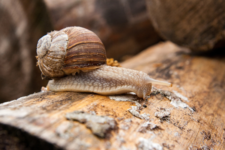 molluscs: Burgundy snail (Helix pomatia, Roman snail, edible snail, escargot) crawling on its road. Close up view of big snail on the trunk of old tree. Mold growing on the old tree trunk.