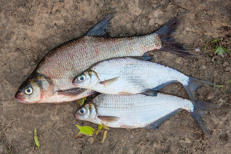 bream: Freshwater fish just taken from the water. Several bream fish and silver bream or white bream on wet sand. Catching fish - common bream and silver bream or white bream.