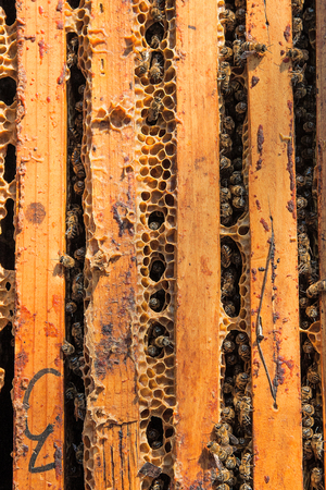 populated: Close up view of the opened hive body showing the frames populated by honey bees.