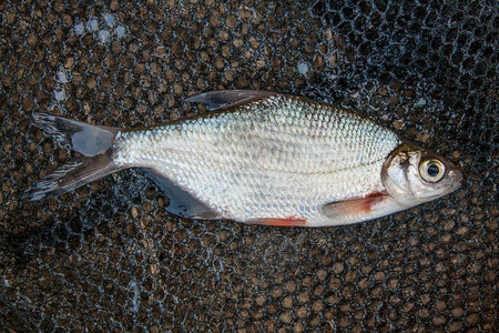 bream: Freshwater fish just taken from the water. One silver bream or white bream fish on black fishing net. Catching fish - common bream, silver bream or white bream. Stock Photo