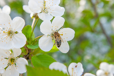 Close up view of bee collects nectar and pollen on a white blossoming cherry tree branch. White flowers of the cherry blossoms on a spring day in the garden. Beekeeping in the garden. Hard work on a sunny spring day. Stock Photo