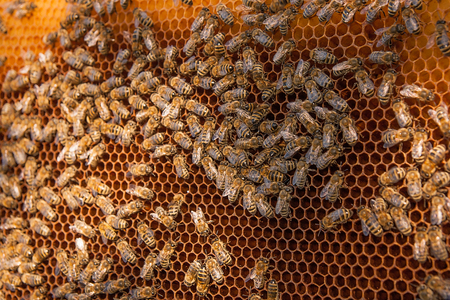 cluster house: Busy bees, close up view of the working bees on honeycomb. Bees close up showing some animals and honeycomb structure.
