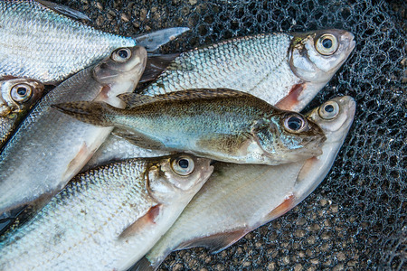 Freshwater fish just taken from the water. Several bream, roach, eurasian ruffe, bleak fish and silver bream or white bream on green grass. Catching fish - eurasian ruffe, common bream, common roach, common bleak and silver bream or white bream.