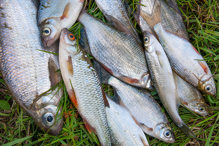 bleak: Freshwater fish just taken from the water. Several bream, roach, bleak fish and silver bream or white bream on green grass. Catching fish - common bream, common roach, common bleak and silver bream or white bream. Stock Photo