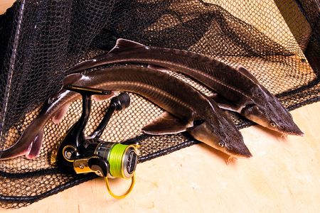commercially: Two small sturgeon fish and with fishing reel on black fishing net. Fresh sterlet fish just taken from the water. Sterlet is a small sturgeon, farmed and commercially fished for its flesh and caviar.