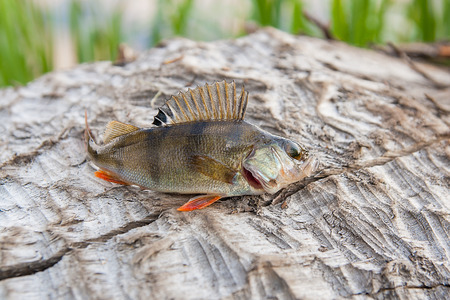 perca: Perch fish just taken from the water on natural background. European perch (Perca fluviatilis). Wildlife animal. Stock Photo