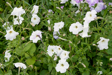 Petunia is genus of many species of flowering plants South American origin, closely related to tobacco, cape gooseberries, tomatoes, deadly nightshades, potatoes and chili peppers; in family Solanaceae