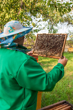 Beekeeper checking a beehive to ensure health of the bee colony or collecting honey. Stock Photo